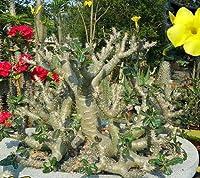 【多肉植物/塊根植物】Pachypodium Cactipes★パキポディウム カクチペス 種子5粒 コーデックス [並行輸入品]