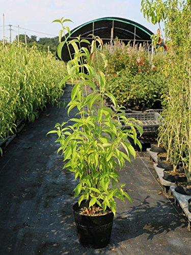 【1年間枯れ保証】【春に花が咲く木】常緑ヤマボウシ株立ち 1.0m18cmポット