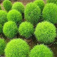 種子パッケージ: 200夏S S寧のラピッドがハーディS、S 98%発芽プラ成長:種子