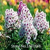 高品質新着ホームガーデン植物100種宿根草TWINKLE STAR、フロックスDrummondii Cuspidata花の種