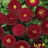 早春を飾るには年内植え付けを! 耐寒性 一年草 デイジー (デージー) ベリシマ  2株セット【レッド】 パンジー・ビオラと一緒に植えましょう!