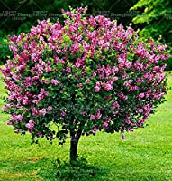 100 PCSライラック植物紫色の日本のライラック(極度の香り)クローブの花植物多年生のライラックの木々屋外植物のための庭:6