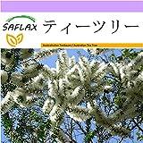 SAFLAX - ティーツリー - 400 個の種。 - Melaleuca alternifolia