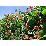 Runner Bean Scarlet Runner (20 Seeds)- Organic Heirloom from Life-Force Seeds