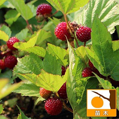 ウルトララズベリー:超大王4?5号ポット[強健で直立性、とても甘い豊産性品種・鉢植えでも] ノーブランド品