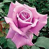 バラ苗 藤娘(ふじむすめ) 国産大苗6号スリット鉢 四季咲き大輪 紫系