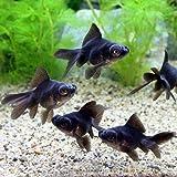(国産金魚) 出目金(デメキン) 黒(1匹) 本州・四国限定[生体]