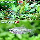 (熱帯魚)カージナルテトラ(ワイルド)(10匹) + コンゴ・テトラ Sサイズ(5匹) 本州・四国限定[生体]