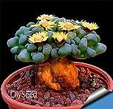 タイムリミット!! 10Seed /パックサボテンRebutia品種の開花カ??ラーサボテン希少サボテン種子オフィスミニ植物多肉植物、#GFHKS2