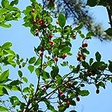 グミ:ナツグミ3~4号ポット[一才グミ・夏茱萸 夏に結実する紅色の小果][苗木] ノーブランド品