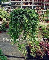 1 : Pearl Chlorophytum Seeds 100 Pcs Hanging Type Potted Of Chlorophytum Flower Plants Indoor Fresh Air Home Garden Cold-Resistant 1