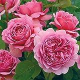 バラ苗 プリンセスアレキサンドラオブケント 大苗ER6L専用鉢 ピンク系 イングリッシュローズ