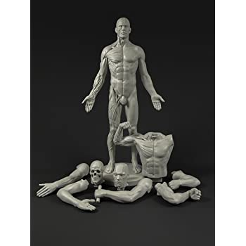 amazon male anatomy figure 11 inch anatomical reference for