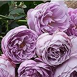 バラ苗 ラピスラズリ 国産新苗4号鉢 四季咲き中輪 紫系 ロサ オリエンティス