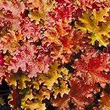 [オレンジ系・小型種]ヒューケラ:ピーチクリスプ2.5号3株セット[明るい琥珀色の波打つ葉がきれい] ノーブランド品