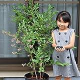 5年生超特大苗2品種寄せ植え24cmポット樹高約120cm[写真のような大苗、初夏には実がつきます]肥料付き
