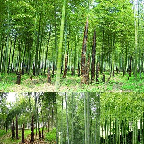 TOPmountain モモ竹種子 100個 巨大な竹の種子