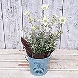 フランネルフラワー:天使のウインク3.5号ポット/ブリキバケツ入り[小輪の花がたくさん咲く!] ノーブランド品