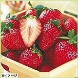 苺(イチゴ) とちおとめの苗(3苗セット)