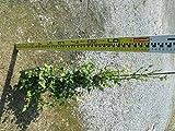 【ノーブランド品】 トキワマンサク(青葉白花) 樹高1.2m前後 18cmポット 【5本セット】