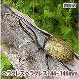 むしや本舗 ヘラクレスオオカブト成虫 オス(ヘラクレスヘラクレス) 144~146mm [生体]