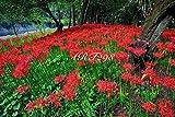 風景写真ポスター 埼玉 巾着田(きんちゃくだ)の曼珠沙華19-03 埼玉県日高市の巾着田は、日本一の曼珠沙華群生地。その数は何と約500万本。辺り一面はさながら深紅のカーペットです。曼珠沙華はサンスクリット語で「天界の花」。花言葉は「再会」「あきらめ」「哀しい思い出」「情熱」など。お好みの額に入れたり、ボードに貼ったりして飾ってください。 (A2 59.4×42.0cm)