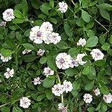 マット植物:ヒメイワダレソウのマット25cm×25cm 10枚セット ノーブランド品