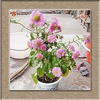 Swansgreen 7:9色利用可能なCallistephus Chinensis種子バルコニー鉢植え盆栽植物の花の種子アスター種子パック/ 100個