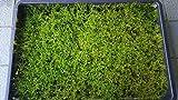 【ハイゴケ 350×500】 栽培箱での蒔き苔栽培の良質なハイゴケです。薄地モノで 苔庭・栽培用にお使い下さい