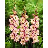 グラジオラス2色咲き:プリシラ8球入り 2袋セット[初夏の花壇を華やかに][春植え球根]