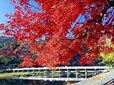 【6か月枯れ保証】【紅葉が美しい木】イロハモミジ 1.0m