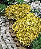 セダムエーカーゴールデンカーペット、イエローマンネングサグランドカバー花の盆栽種子50pcsの花の種