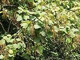 【6か月枯れ保証】【山林苗木】キササゲ 0.5m