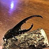 ヘラクレスオオカブト成虫 オス(ヘラクレスヘラクレス) 147~149mm [生体] むしや本舗 が販売します