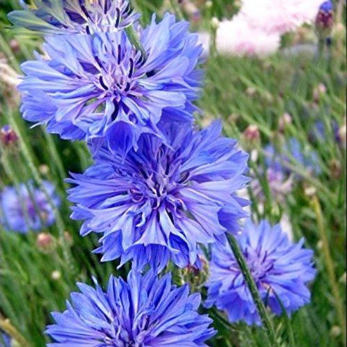ホット販売レアブルーヤグルマギク種子バルコニーパティオガーデンの花鉢植え盆栽植物の種子ヤグルマギク花の種120PCS