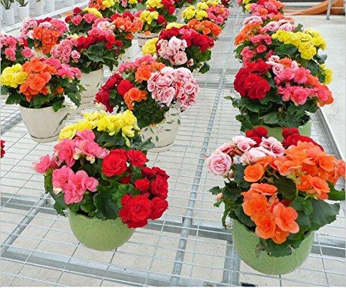 花の種15個の種子鉢植えの花ローズリーガーベゴニアの種子ベゴニア盆栽種子ホームガーデン