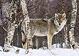 オオカミと野生のイヌ 画像