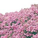 バラ苗 ラベンダードリーム 国産新苗4号ポリ鉢 四季咲き 紫系修景用