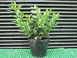 【芳香花木】サルココッカ樹高0.1m前後 常緑低木