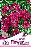 ホット販売30個のカーネーション種子、花種子、盆栽種子ポットプラントホームガーデン【送料無料】