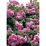 バラ苗 ジャスミーナ 国産新苗4号ポリ鉢 つるバラ(CL) 返り咲き ピンク系