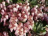 赤花アセビ 根巻き大苗 庭木 低木