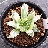 多肉植物:ハオルチア ピリフェラ錦*幅5cm