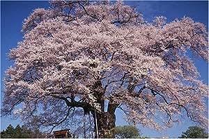 1000ピース 落合の醍醐桜 樹齢千年(岡山県) (50x75cm)