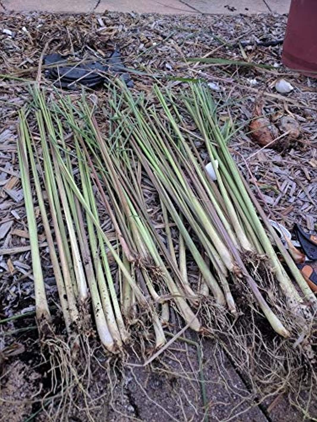 タイルお香刈る用途:ハーブティー - タイ料理 - カレー - 健康上の利点 - エッセンシャルオイル - アロマセラピーを。