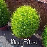 50個/ロット草の種子、多年生草燃える柴ホウキギScoparia種子レッドガーデン装飾用の簡単グロー、#のO0IIQ3