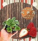 いちご 苗 【四季成り性】ペチカ 3号ポット苗 イチゴ 苺