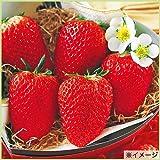 苺(イチゴ) 紅ほっぺの苗(3苗セット)