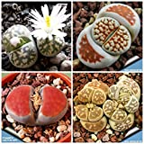 234.リトープス・カラスモンタナの種子。 (lithops karasmontana mix 15粒+α) [並行輸入品]