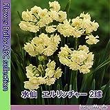 ◇八重咲き芳香スイセン 【人気の球根】 水仙・エルリッチャー2球